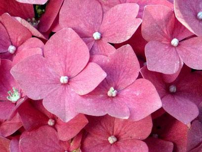 Rosafarbende Hortensie