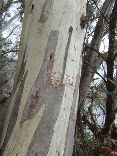 geschälter eukalyptus
