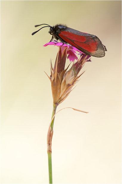 Zygaena purpuralis, Thymian-Widderchen