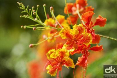 Die Nationalblume von St. Lucia