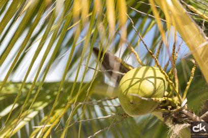 Kokosnusspalme auf Harvest Caye