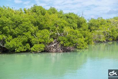 Mangroven auf Harvest Caye