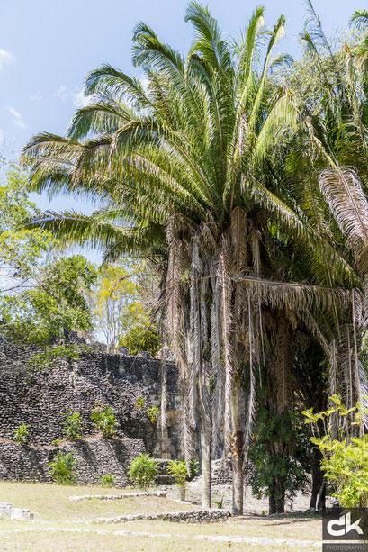 Pflanzen und Palmen in Maya Stätten