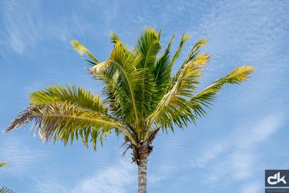 Palmen auf Harvest Caye