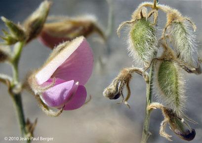 Tephrosia nubica - Réservoir près de Munay (route de Kalba)