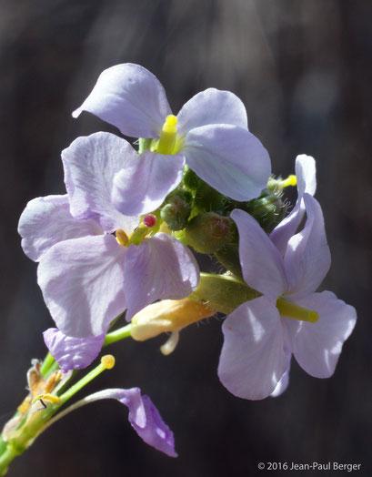 Erucaria hispanica - Jebel Sayh - Musandam