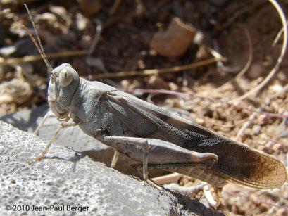 Sphingonotus _femoralis - Jebel Sayh
