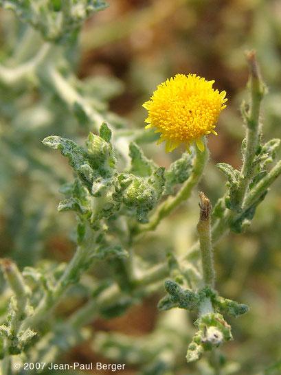 """Pulicaria undulata - Cirque de la vallée de Khasab (""""Forêt"""")"""