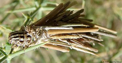 Oiketicoides - Wadi Kub