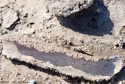 Écorce de Tamaris (les vaisseaux du xylème sont observables sur la face interne) et touffe de graminée (en haut de l'image) fossilisées - Lac Abhé