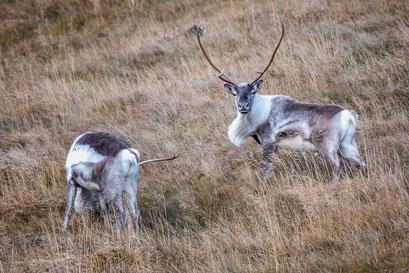 Reindeer, Southcoast - Iceland © Jurjen Veerman