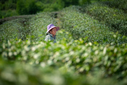 Choui Fong tea plantation © Jurjen Veerman