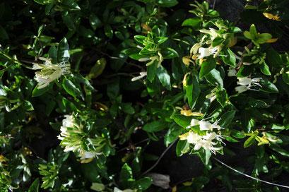 スイカズラ(ハニーサックル)は、甘い魅惑的な香りの蒸留水になります。