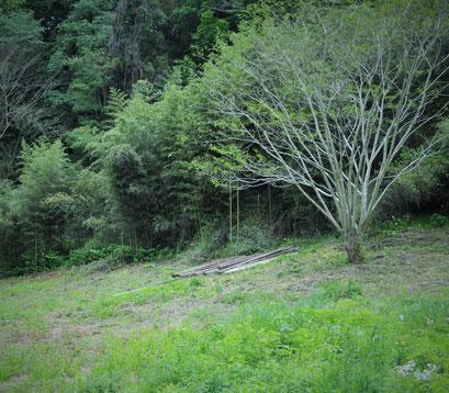 すどう農園の里山は、ヨモギやカキドオシ、アカネなど日本のハーブの宝庫です。