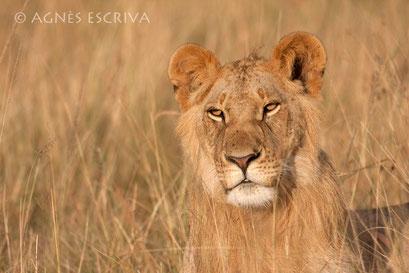 Jeune lion - Kenya août 2010