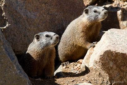 Marmottes à ventre jaune