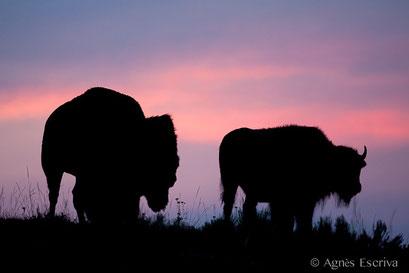 Couple de bison au clair de lune