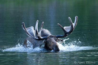 Elan - Orignal - Moose s'ébrouant