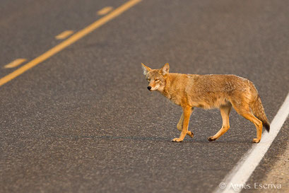 Coyote qui traverse la route