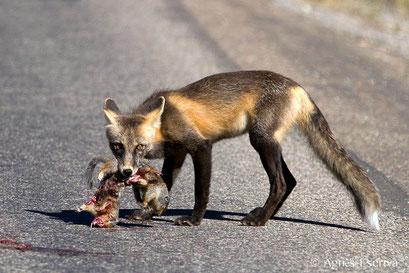 Red fox ayant trouvé deux écureuils écrasés par une voiture