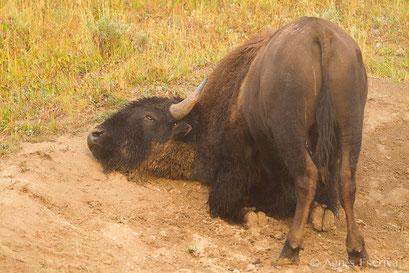 Bison mâle se roulant dans la poussière