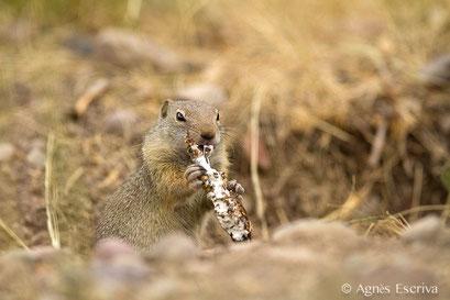 Gourmandie de l'écureuil Uinta