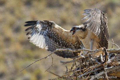 Jeune osprey au nid