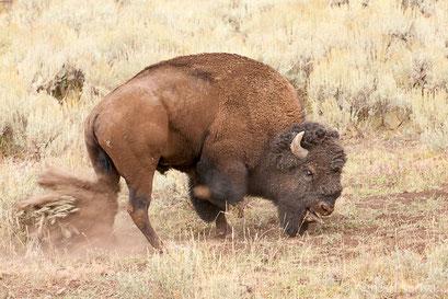 Mâle bison énervé...