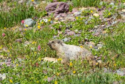Marmotte à ventre jaune mangeant des fleurs