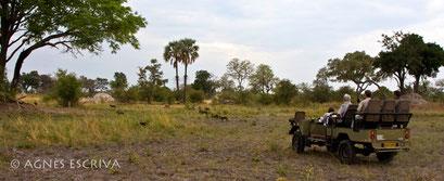 Chasse de lycaons - Botswana - novembre 2008