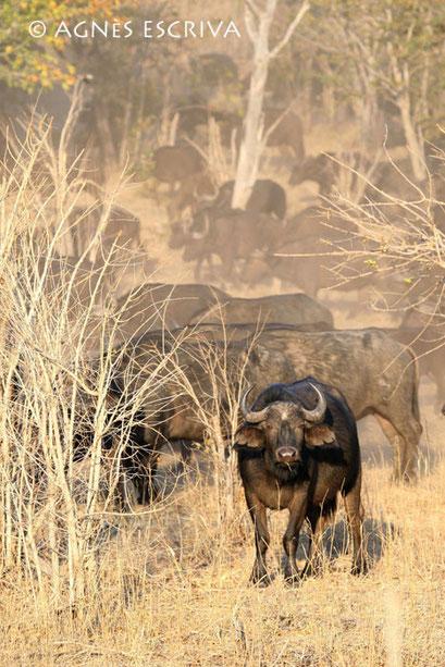 Buffles dans la poussière - Botswana 2007