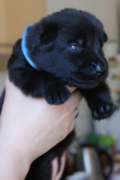 schwarzer Rüde (hellblau)