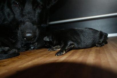 schwarz-braune Hündin