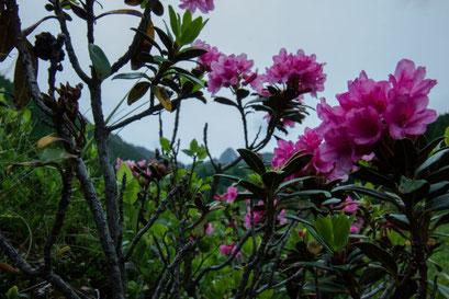Die Alpenrosen blühen im Pusterta in der Ferienregion Kronplatz