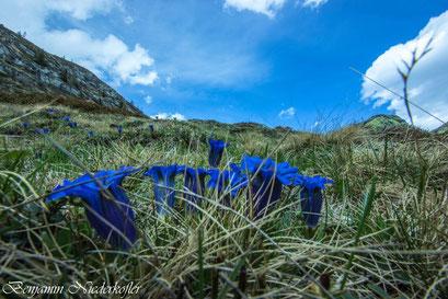 Enziane blühen in der Ferienregion Kronplatz besonders zahlreich