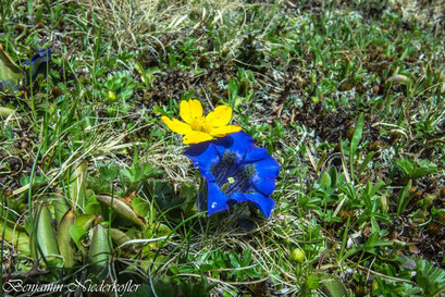 Die Enzianblüte beginnt in Weißenbach Ende April und geht bis Mitte Juni