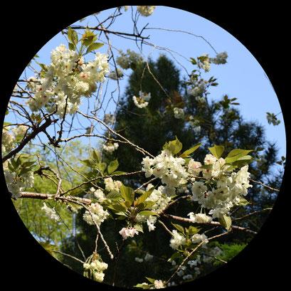 3月 御衣黄桜