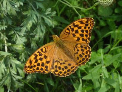 Argynnis paphia. - Bienitz, Rodelbahn 10.07.2011 - D. Wagler