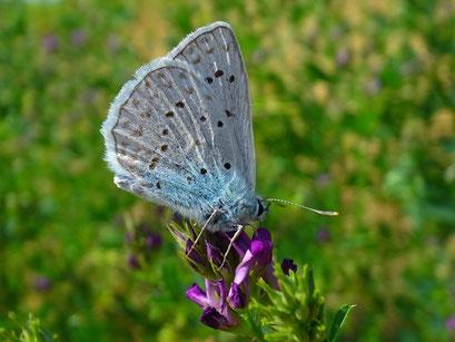 Polyommatus daphnis. - Tschechien, Kadaň (Kaaden), Úhošť (Burberg) - národní přírodní rezervace (Nationalen Naturreservat) 03.08.2013 - F. Herrmann