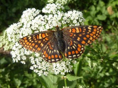 Euphydryas maturna auf Giersch. - Schkeuditz, Wehlitz, Auwald 26.05.2012 - D. Wagler