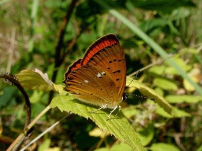 Lycaena virgaureae. - Kossa, Schneise im Kiefernwald 26.06.2010 - D. Wagler