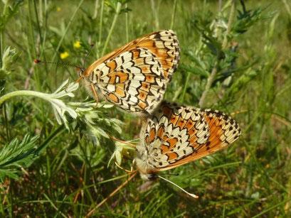 Melitaea cinxia bei der Paarung. - Dübener Heide, Laußig 25.05.2011 - D. Wagler