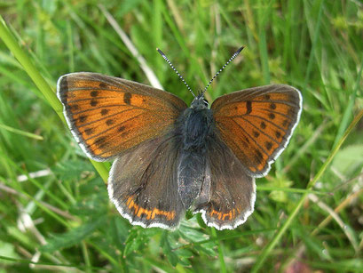 Weibchen von Lycaena hippothoe. - Grumbach (Erzgebirgskreis) 08.06.2011 - R. Klemm