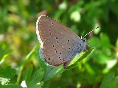 Cupido minimus. - Tschechien, Kadaň (Kaaden), Úhošť (Burberg) - národní přírodní rezervace (Nationalen Naturreservat) 03.08.2013 - F. Herrmann