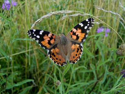 Vanessa cardui an Wiesen-Flockenblume. - Schkeuditz, Wiesenkomplex einschl. Waldrand 19.07.2006 - D. Wagler
