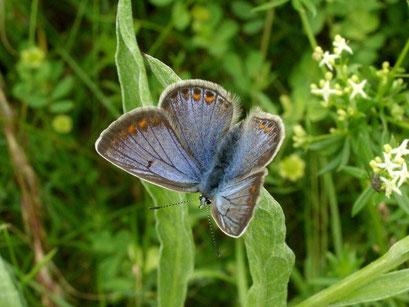 Polyommatus icarus. - Bienitz, Südhang, Sandweg 14.06.2010 - D. Wagler