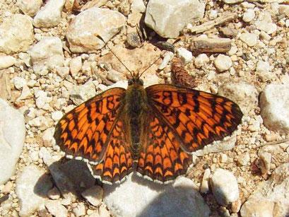 Melitaea phoebe. - Lagnes, Provence (Frankreich) 06.05.2007 - D. Wagler