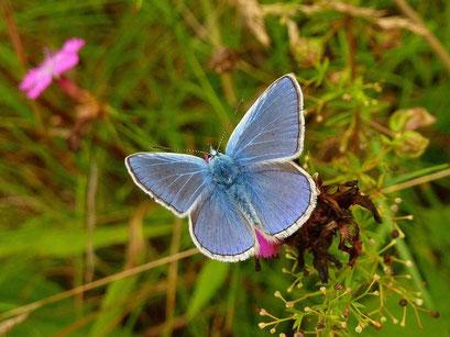 Polyommatus icarus. - Bienitz, Südhang, Sandweg 18.07.2010 - D. Wagler