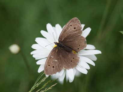 Aphantopus hyperantus. - 28.06.2008 - M. Eigner