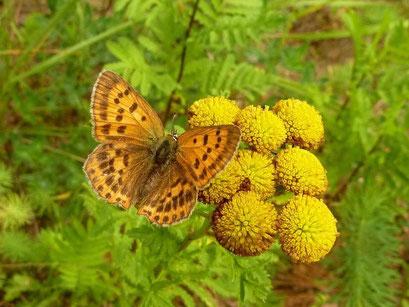 Lycaena virgaureae an Rainfarn. - Kossa, Schneise im Kiefernwald 21.08.2011 - D. Wagler